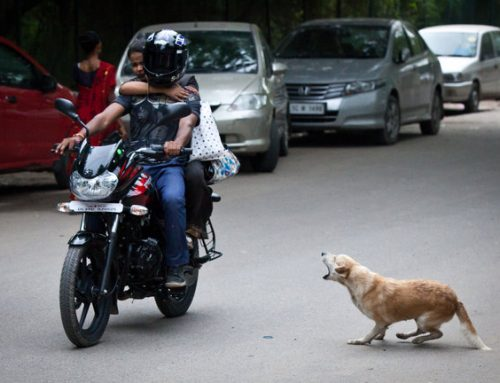 Stray dogs creating nuisance